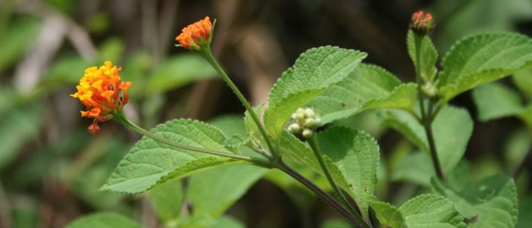 Article : Covid-19 : Et si la solution réside dans les plantes ?