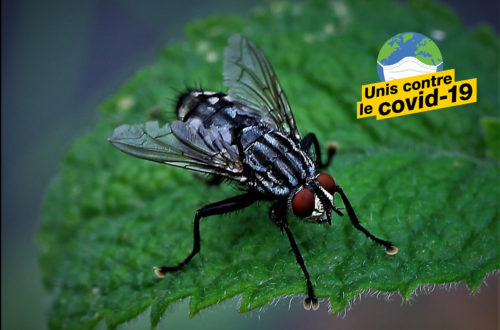 Article : #Askip : À ce qu'il paraît, les mouches domestiques transmettraient le Covid-19